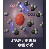 ATP的主要来源—细胞呼吸